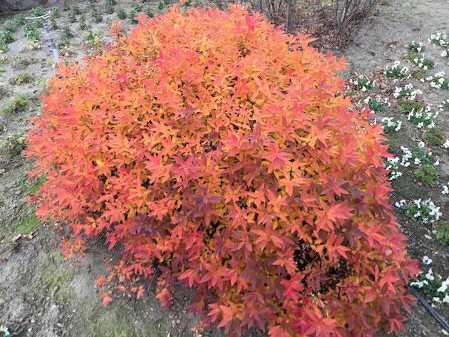 真っ赤に色づいたユキヤナギ。紅葉も花も楽しめる美しい低木!