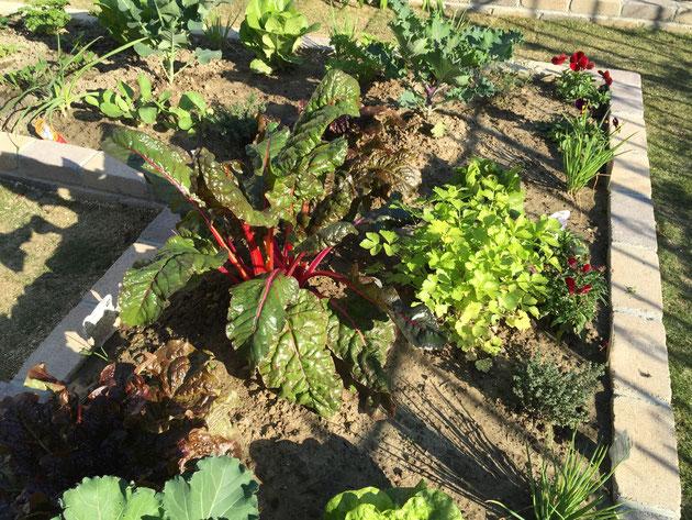 中心には赤い茎が目立つスイスチャードを。イタリアンパセリの薄黄色とも色の対比が出て綺麗です。