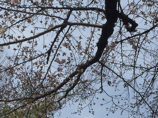 逆光で良く見えないかもしれませんが3/30大森金城学院前のサクラがちょっと開花!