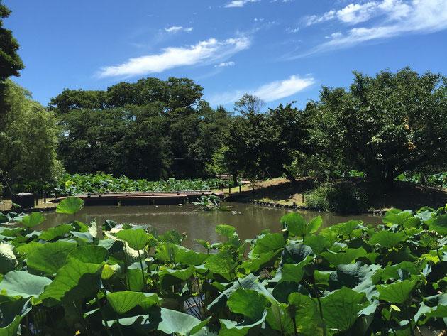 鶴岡八幡宮の源平池。こちらは現時の池。島の数は3つ。
