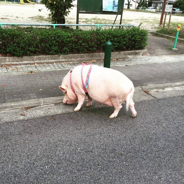 衝撃!豚ちゃんが散歩している!でも、ぞうは散歩できないかなあ・・・