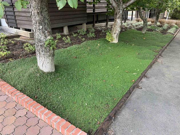 ちょっと遠目で見ると人工芝のようにも見えるけど芝生に代わるグランドカバーです!