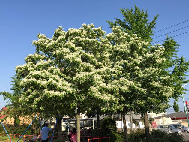 大森五反田公園にて5月2日に白い花の咲く大きな木  この木はなんじゃ?
