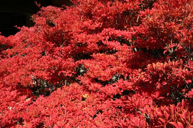 紅葉の素晴らしい植木2位 ドウダンツツジ