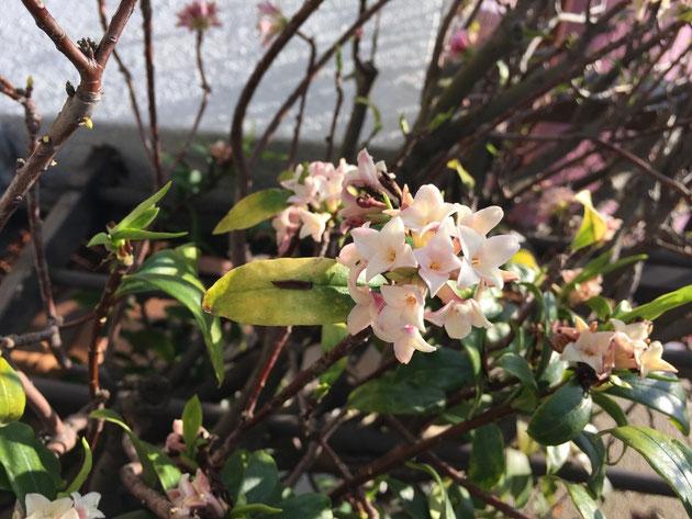 春に香る植物の代表かもしれませんね ジンチョウゲ