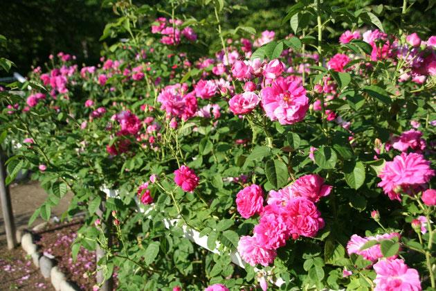 様々な種類のバラが目白押し バラにとっては今が最高の季節です これが無料なんてありがたい!!
