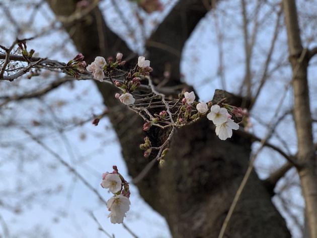 守山区のサクラ2018/3/28@雨池公園