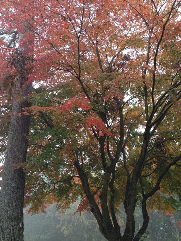美しい紅葉 本当はゴルフにてんてこ舞いで写真とってる余裕は有りませんでした。