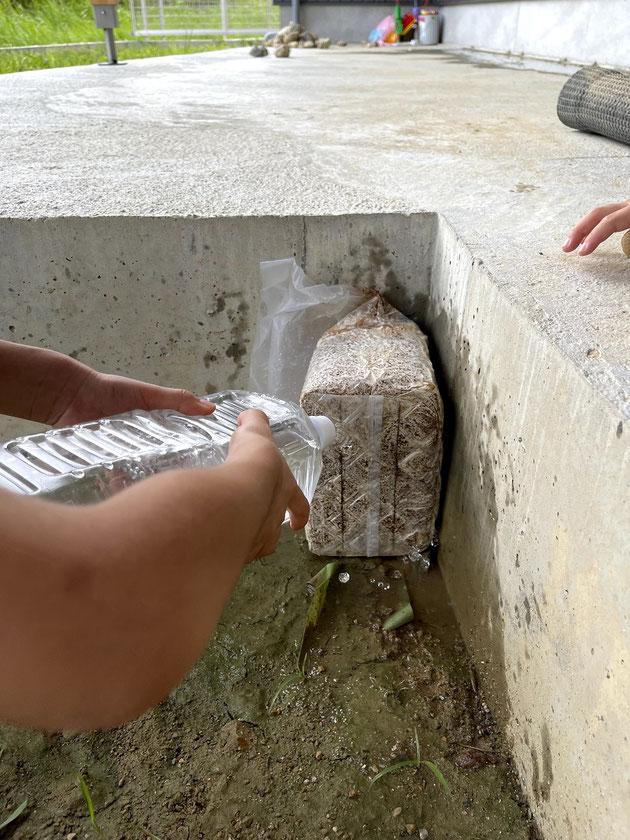 栽培セットに切れ目を入れて水をかけて開始