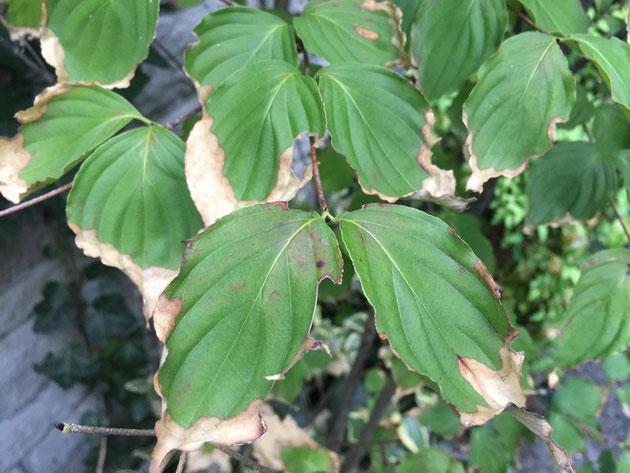 葉っぱの外まわりが枯れているのは水切れの証。