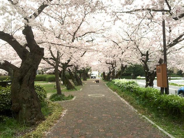 桜の散りはじめたソメイヨシノ。ピンクが濃くなってきて一番奇麗な瞬間。