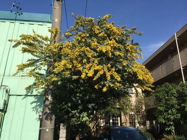 ただ今満開!柴垣グリーンテックのミモザの木です。国道302号線からよく見えます!