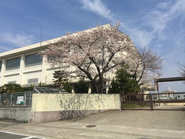 柴垣グリーンテックから徒歩3分の大森中学校のソメイヨシノ。5分咲きくらい?