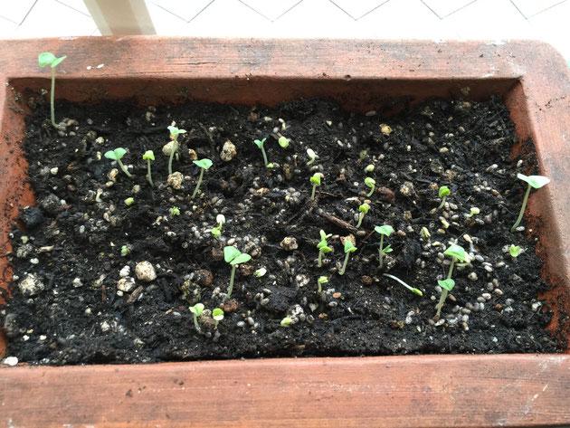 10月10日朝7:00のチアシード。前日に比べてかなり芽の数も増えている。