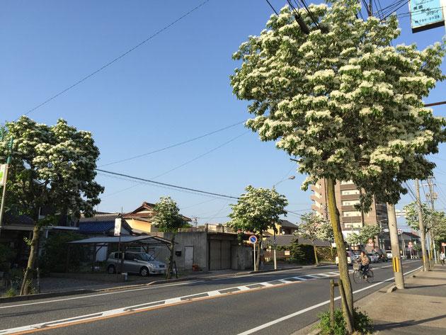 大森金城学院前駅から南に少し来たあたりの瀬戸街道 ナンジャモンジャの花がきれいに咲いている