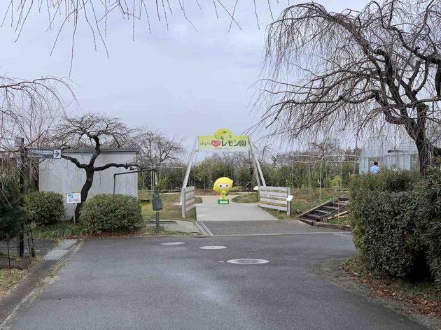2月のレモン園。春が待ち遠しいです!