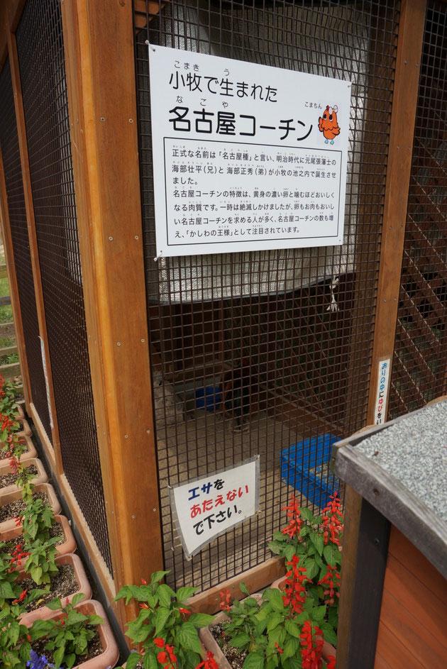 名古屋コーチンは小牧生まれだった・・・衝撃の事実発覚!