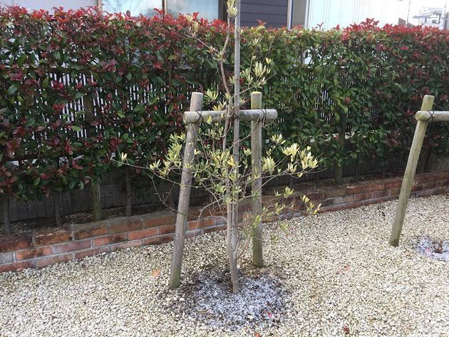 七年経っても育ちが悪いオリーブの木