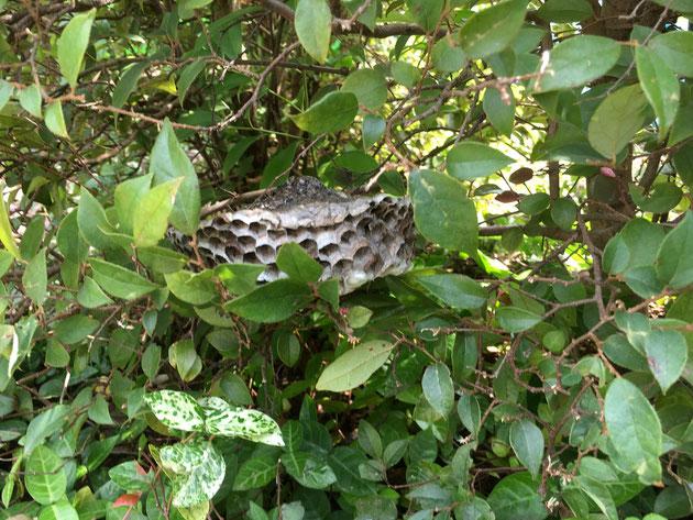 生垣の中を良くみると・・・アシナガバチの巣が!!?