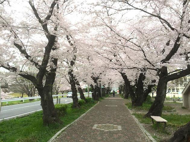 足元にはチラホラと桜の花びらが。ソメイヨシノ満開の雨池公園。