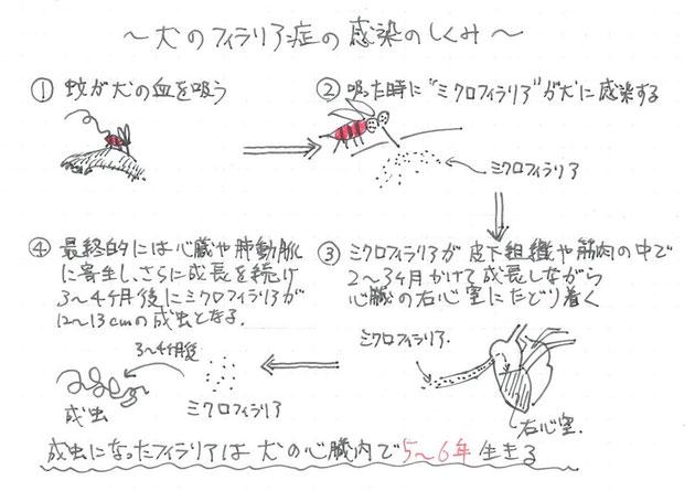 簡単図解!犬のフィラリア症の感染の仕組み。多分こんな感じです。