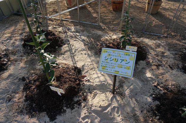 ふるさと名古屋レモン園の温室内で育てられるシシリアン