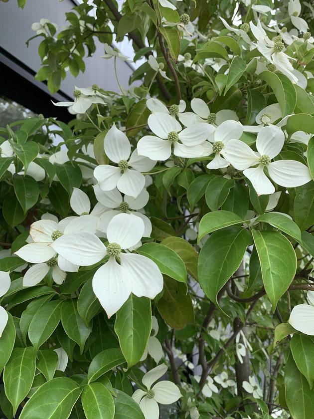 トキワヤマボウシは葉もそこまで大きくないので、常緑特有のもっさり感は少ない気がします。