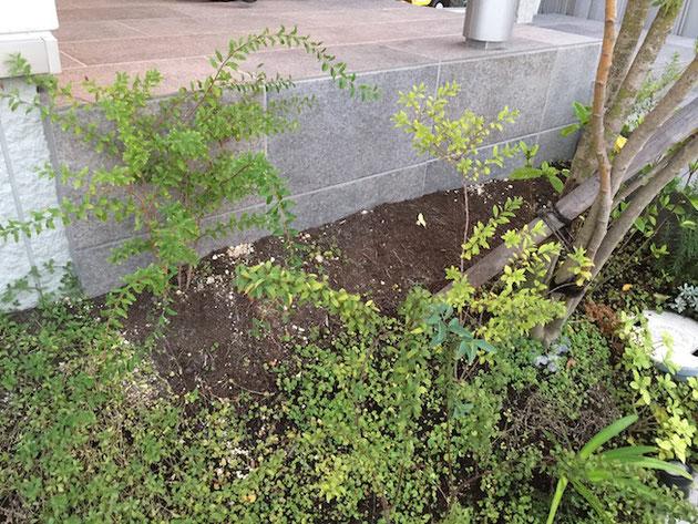 玄関ポーチの横。30cmくらい奇麗に植物が生えていない。これは!?