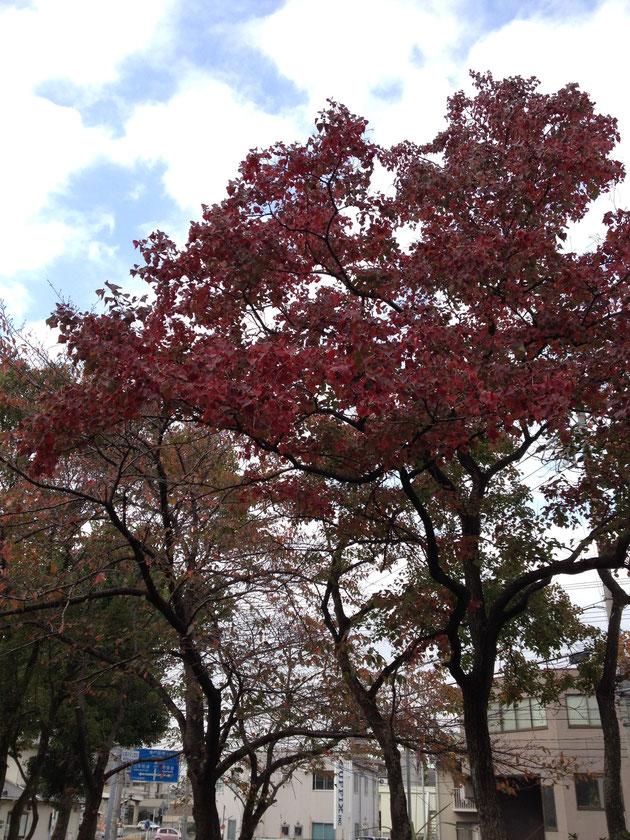 紅葉の美しい街路樹や公園の木 ナンキンハゼ
