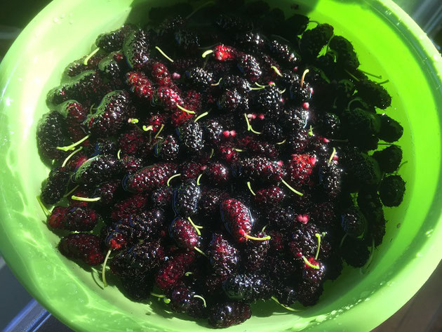 摘み立ての桑の実(マルベリー)なまでも食べられるが、ジャムが美味しい。