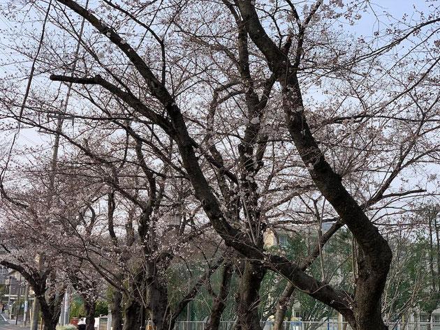 雨池公園のソメイヨシノ2019。蕾がふくらんできて、一部咲いている。