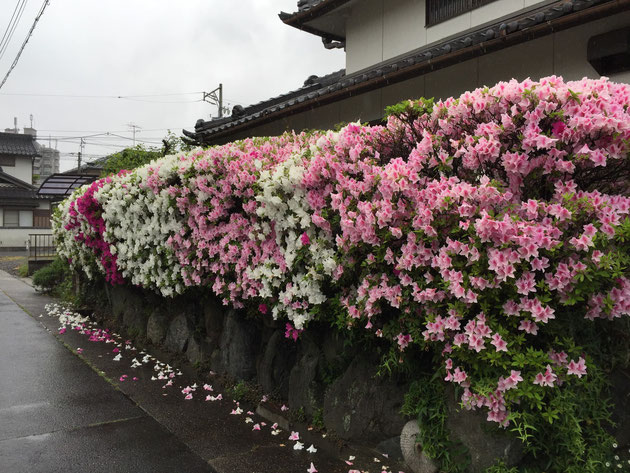 5月に美しく咲くヒラドツツジ。街路樹にも使われ強い植物なのだが、好んで食べる害虫もいる?