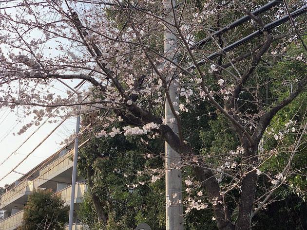 大森金城学院前の桜の木。この子が一番早く咲き始める。