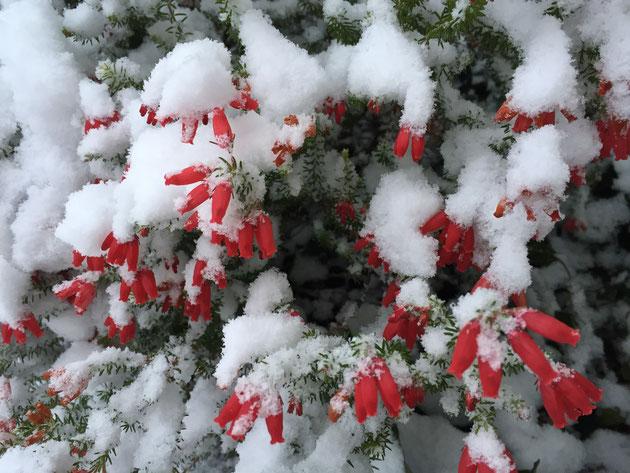 雪に埋もれるエリカ。花の赤、雪の白、葉の緑はクリスマスを連想させますね!