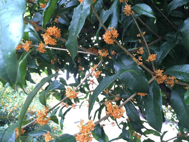 キンモクセイの花は何故香るのだろう?