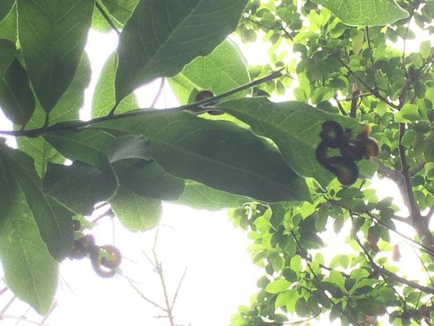 コブシの葉の裏で葉っぱを食べる虫。