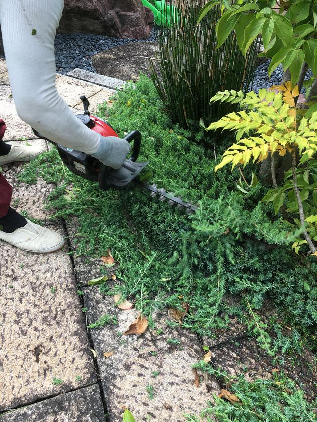 トリマーで低木植栽を刈り込み中!