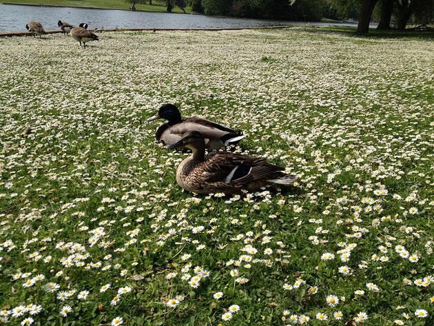 公園の中には鴨がそこら中にいる。
