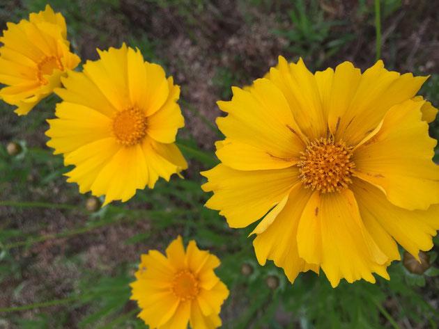 川原に咲いていた黄色い花はオオキンケイギクだと判明