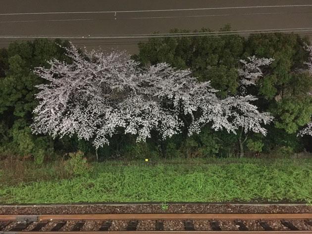 駅のホームで満開のソメイヨシノ 鉄ちゃんでなくても電車と桜の写真が撮りたくなる