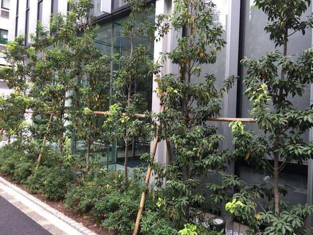 虎ノ門までいく間にあった新しいビルの植栽。ソヨゴがはやりかな?