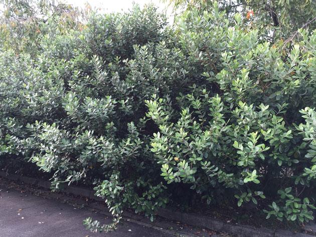 こちらは守山区にある東谷山フルーツパークで見つけたフェイジョアの生垣