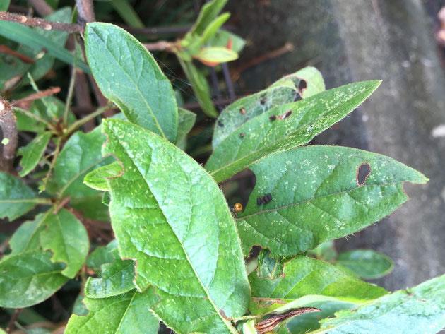 葉っぱの上に見える黒いツブツブは糞。これを見ると害虫が居るのが分かる。