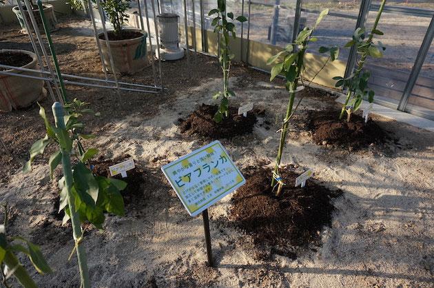 ふるさと名古屋レモン園の温室内で育てられるビアフランカ