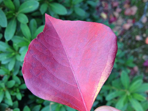 ナンキンハゼの紅葉 少し紫がかっていて美しい