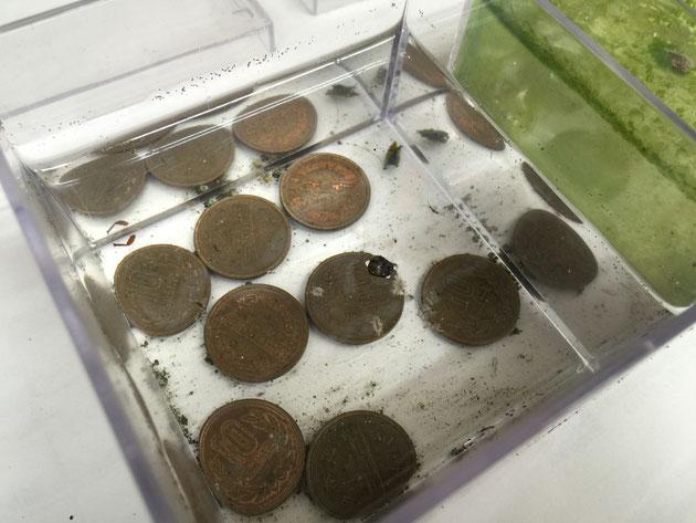 10円玉が入っている水。隣に比べると格段に水がきれいだ。