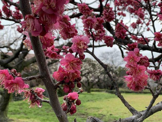 フルーツパークは梅園も有名。綺麗に咲いていますよ!