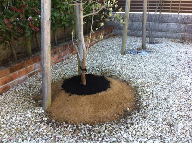 高植えしたオリーブの木。排水性が改善されると良いのですが。