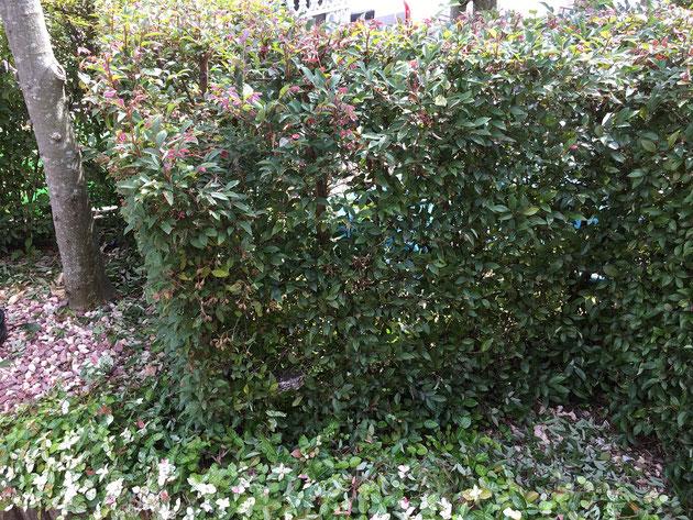 一見何の変哲もない生垣ですが、この中に蜂の巣が!!
