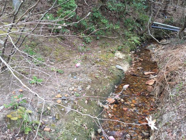 沢沿いの傾斜地ショウジョウバカマの生える条件にピッタリの場所だったんですね。